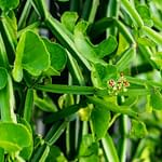 Hadjod Plant For Osteoarthritis