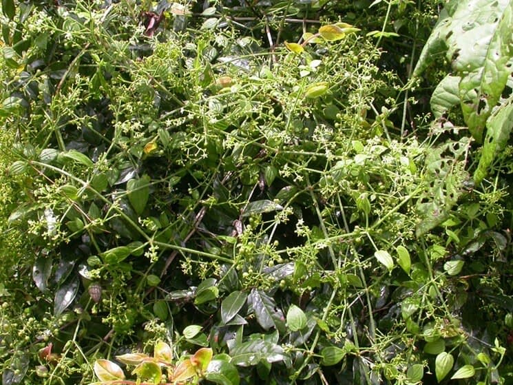 Rubia Cordifolia Manjistha