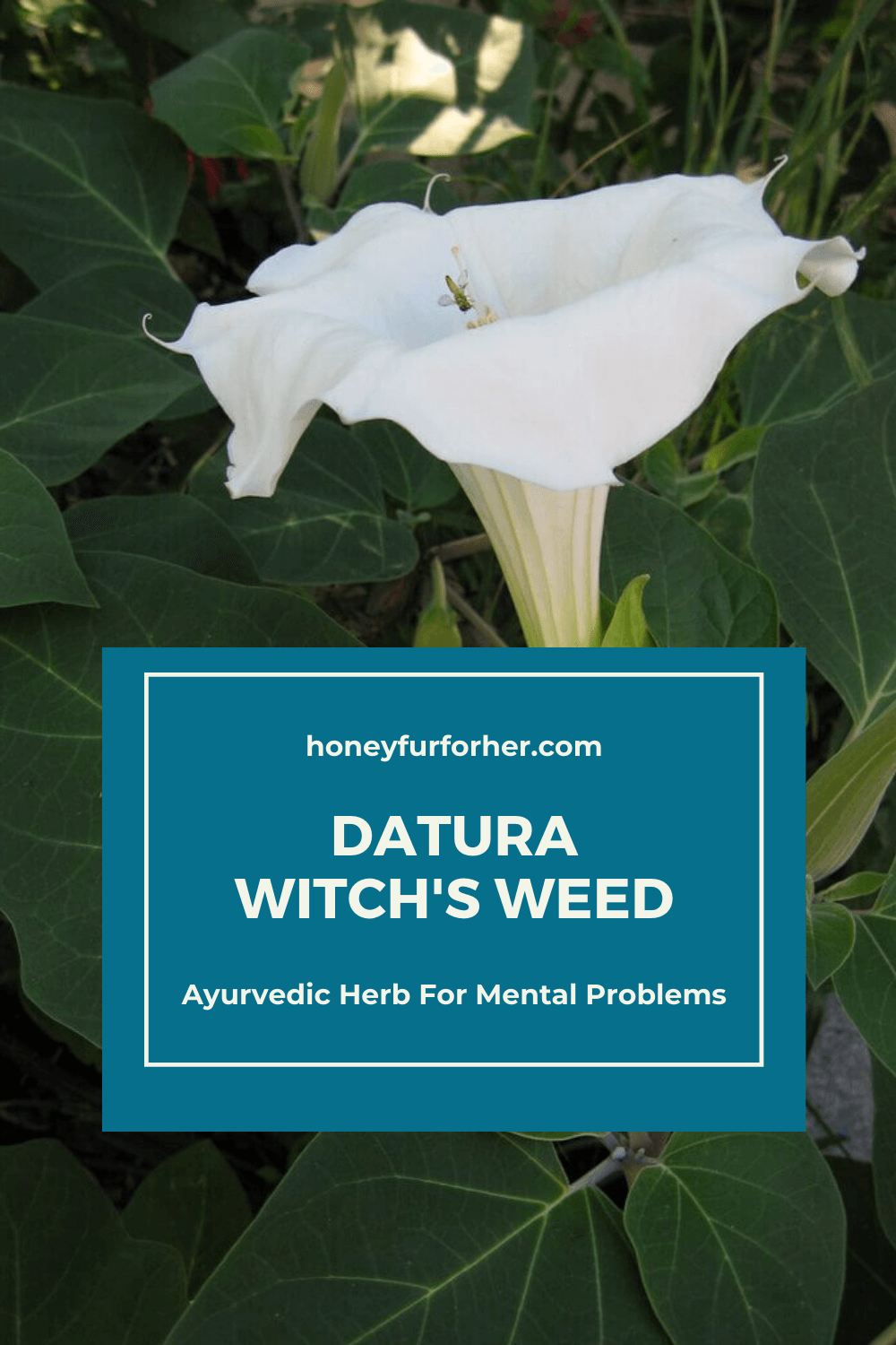 Datura Pinterest Pin Graphic