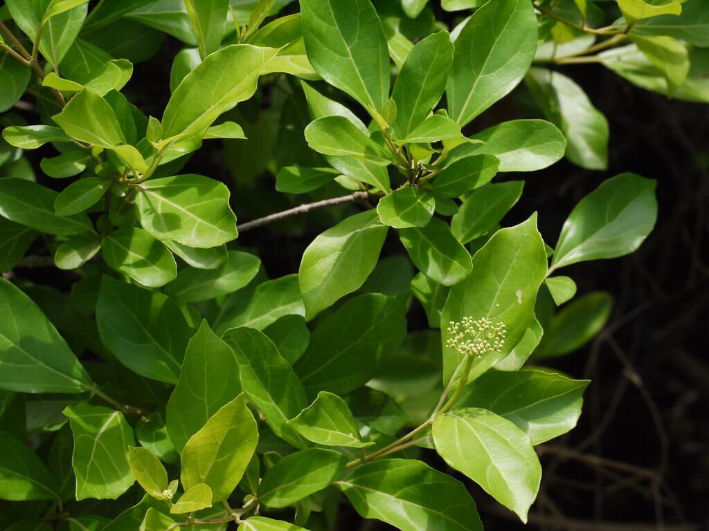 Agnimantha Premna integrifolia Plant