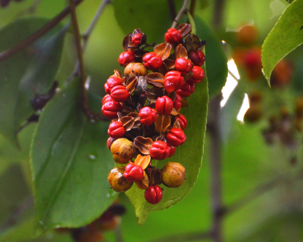Malkangini Jyotishmati Celastrus Paniculatus Fruits