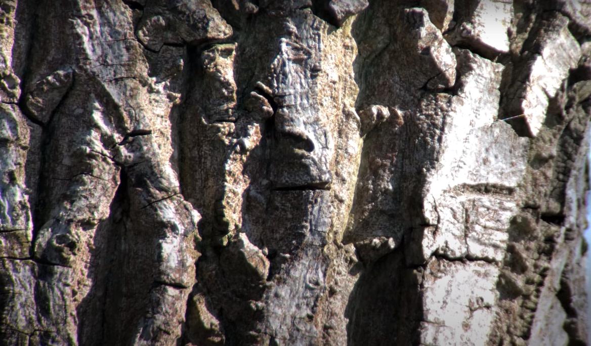 Walnut Tree Bark