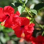 Hibiscus Gudhal Flower