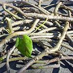Guduchi Giloy - Tinospora Cordifolia