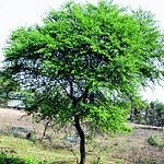 Babool Tree