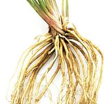 Indian Valerian Root Tea