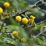 Babool Acacia Plant
