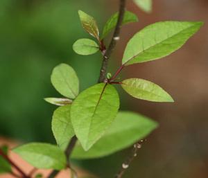 Guggul Plant Leaves
