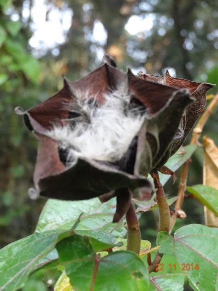 Ulatkambal Devils Cotton