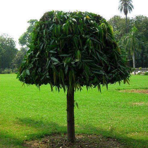 Ashoka Tree Small
