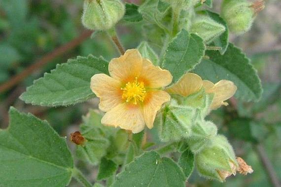Bala Sida Cordifolia