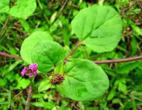Herbs For Arthritis - Punarnava