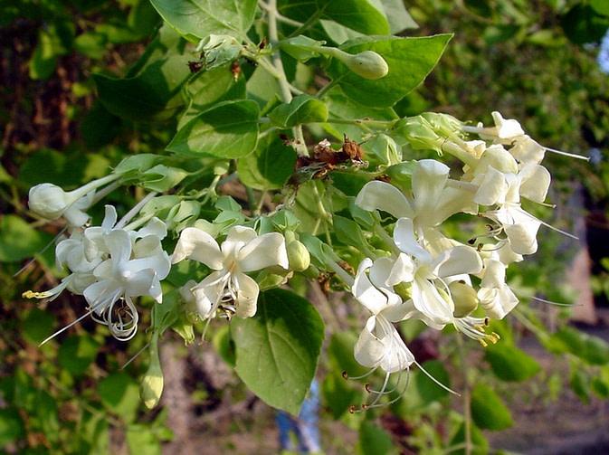 Agnimantha - Clerodendrum Phlomidis