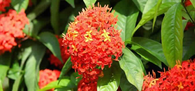 Ashoka Tree Herb