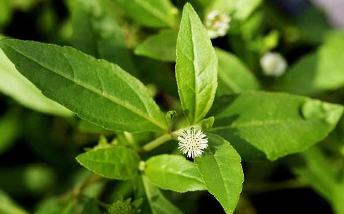 Bhringraj Herb Plant