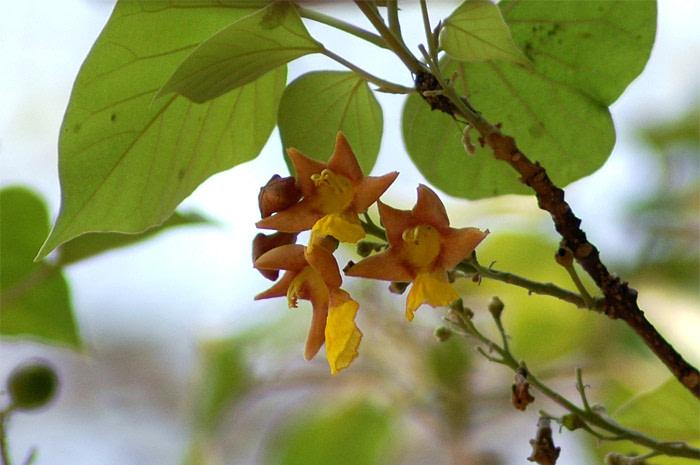 Gambhari - Gmelina Arborea