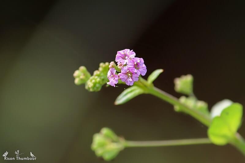 Punarnava Boerhavia Diffusa