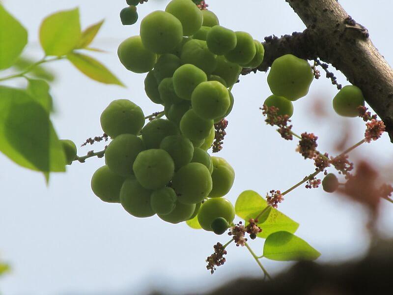 Amla Tree & Fruits