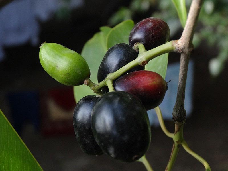 Jamun Plant