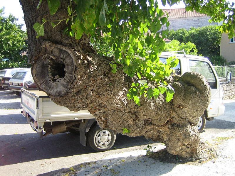 Murva Tree