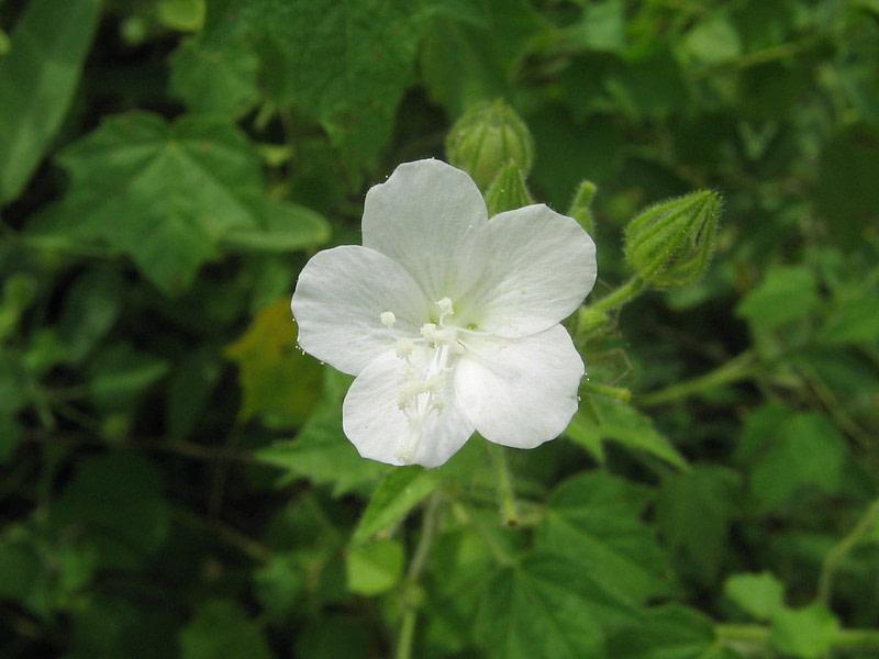 Netrabala Flower Wild