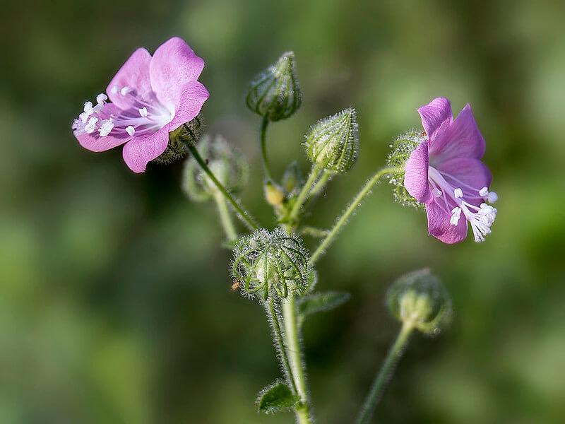 Netrabala Plant