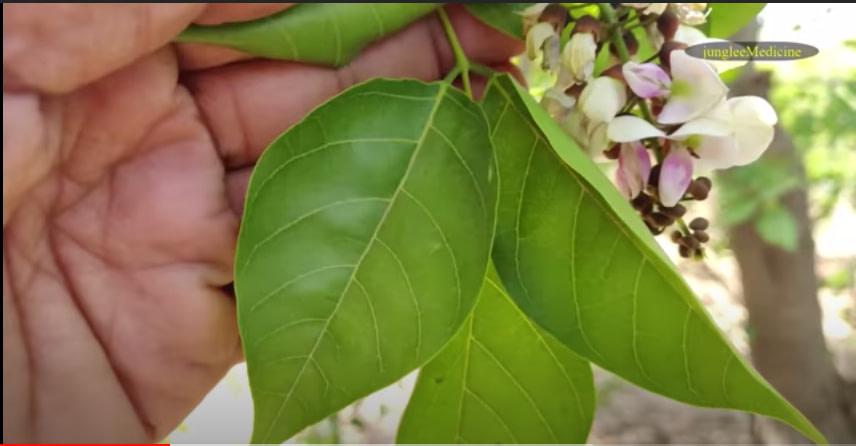 Karanj Leaves