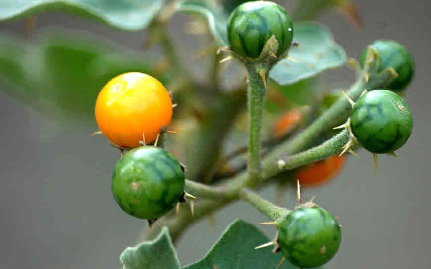 Solanum Indicum Fruit