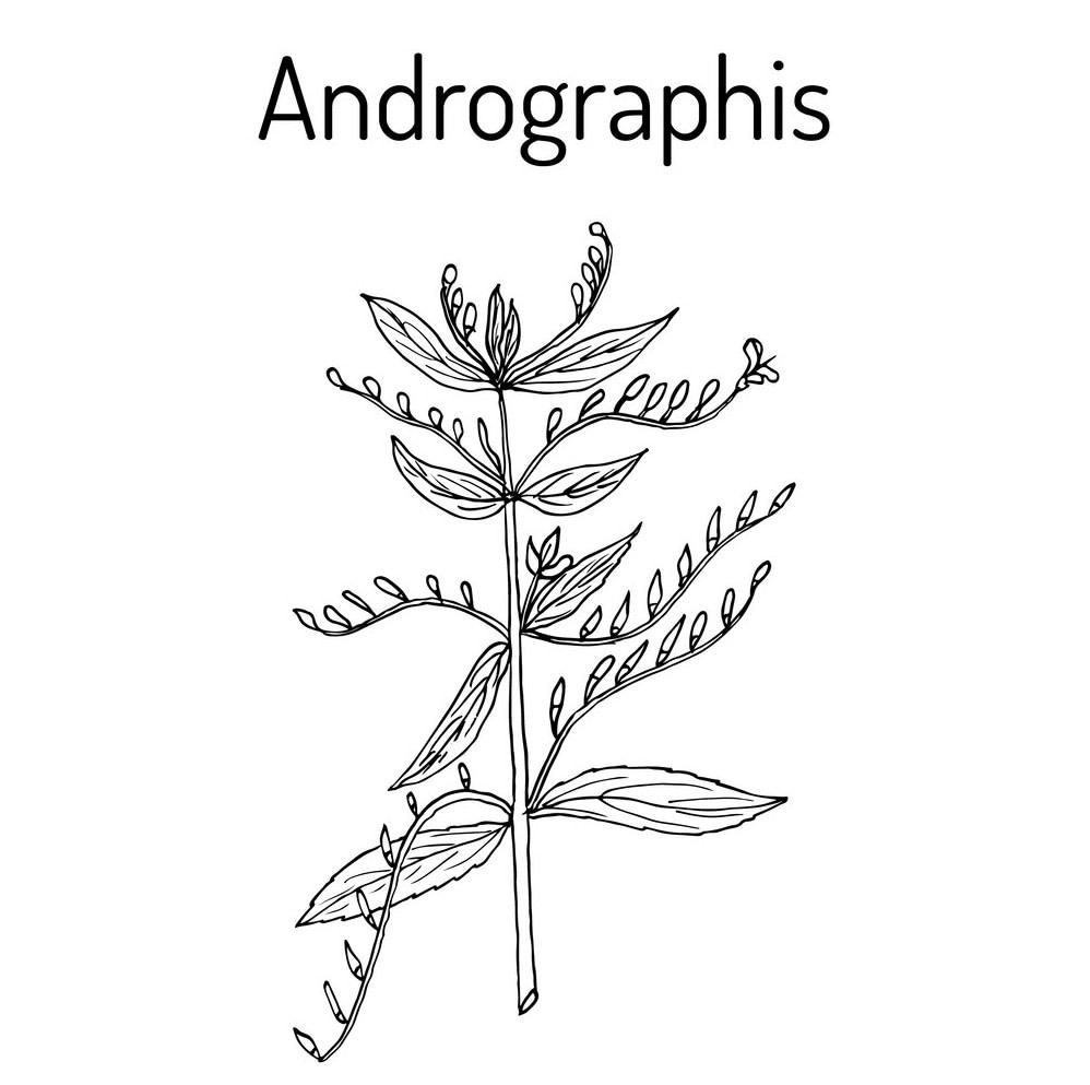 Kalmegh - Andrographis Paniculata